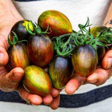 بذر گوجه رنگین کمان اتمیک
