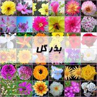 بذر گل