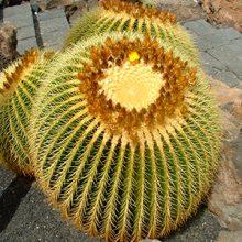 بذر کاکتوس اچینو تیغ زرد بسته ۵۰۰ عددی