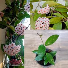 گل پیچ مومی سبز گلدان ۱۰