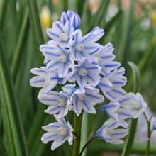 بذر گل striped squill بسته ۱۰۰۰ عددی