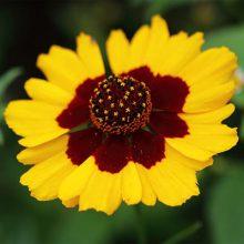 بذر گل اشرفی دورنگ