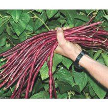 بذر لوبیا رشته ای قرمز (نودلی)