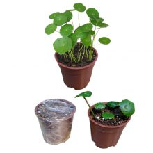 ریزوم کاشته شده گیاه هیدروکوتیل